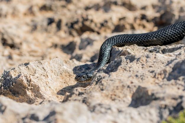 Serpente nero della frusta occidentale, hierophis viridiflavus, che striscia sulle rocce e sulla vegetazione secca a malta