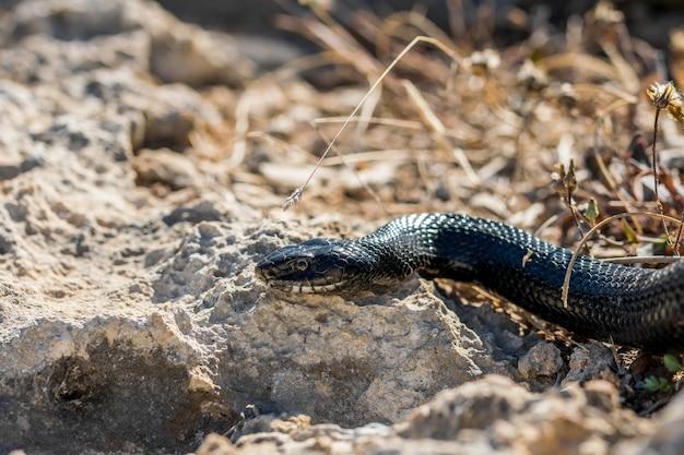 Serpente frusta occidentale nero, hierophis viridiflavus, che striscia sulle rocce e sulla vegetazione secca a malta