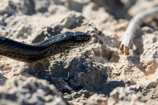 Black western whip snake slithering on rocks and dry vegetation