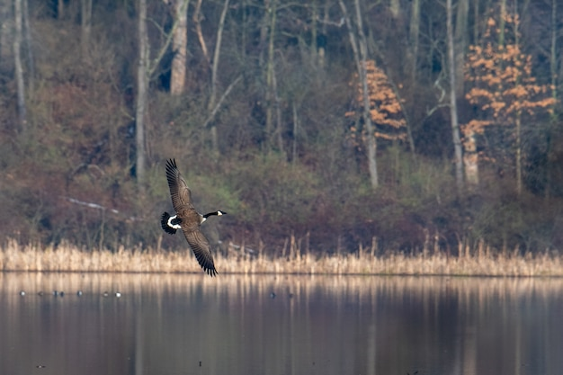 Black and white bird flying over the water surrounded by trees in autumn