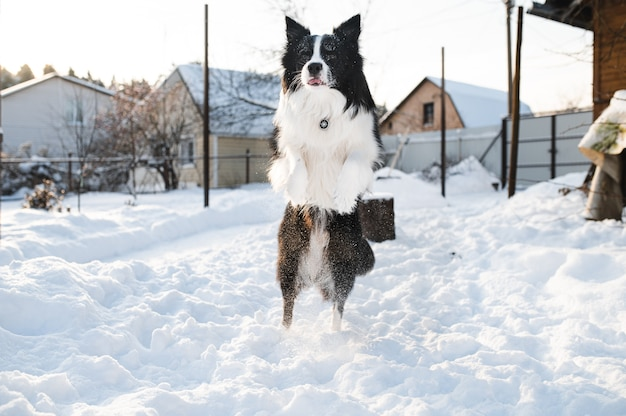 Black and white border collie dog jumping in snow