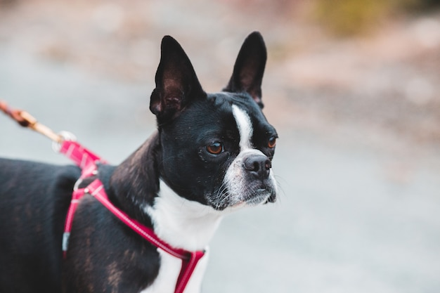 Black and white boston terrier with red and black leash