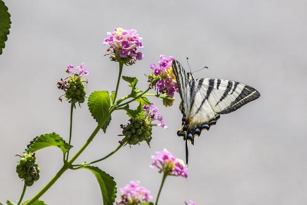Farfalla in bianco e nero sul fiore viola