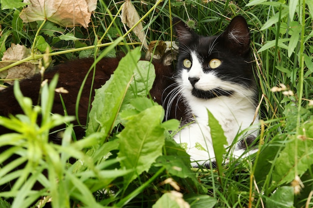 Black and white cat hides in the grass and looks up, horizontal format, selective focus, closeup