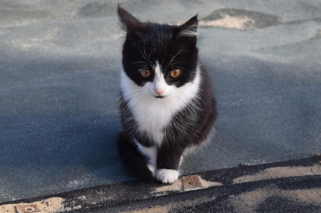 Black and white cat looks at the host