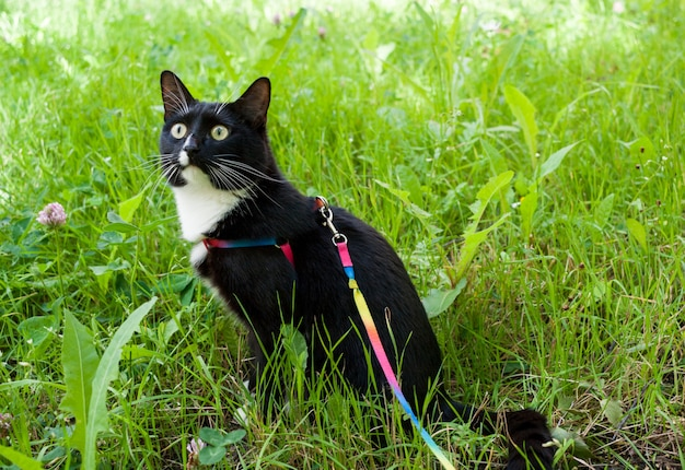 Black and white cat sitting on the grass wearing an harness