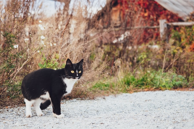Black and white cat sneaks in the grass on the background of a wooden house, autumn, village