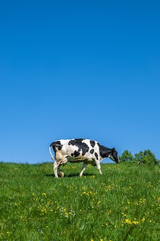 Black and white cow grazing on the pasture during daytime