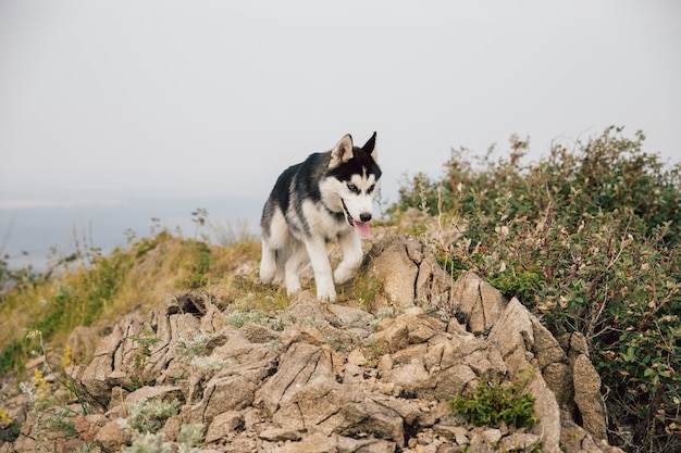 A black and white dog puppy husky runs along the top of a rocky mountain with thickets of shrubs.