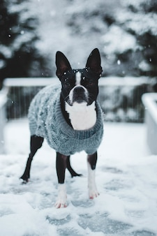 Black and white dog with gray knitted sweater on snow field