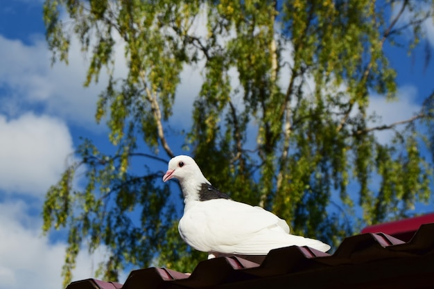 Black and white dove sits on the roof against the back defocused blue sky background with white clouds and green tree.