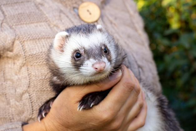 Black and white ferret in the hands of a girl in a fur coat