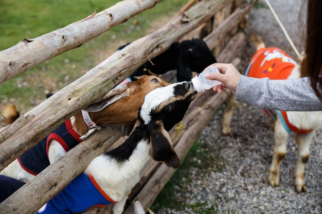The black white goat, brown goat is sucking a bottle of milk.