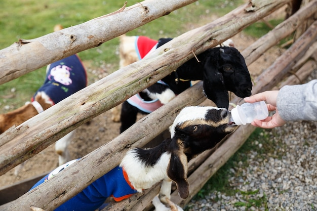 The black white goat is sucking a bottle of milk. human's hand is holding the bottle.