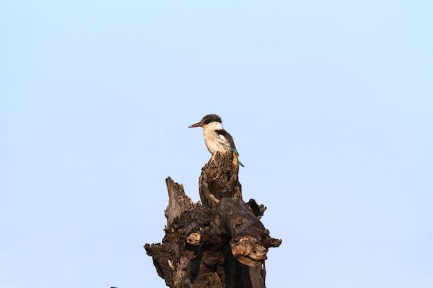 Черно-белый зимородок на пне в саванне серенгети, африка
