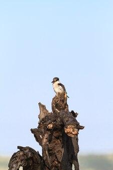 Черно-белый зимородок на пне. серенгети, африка
