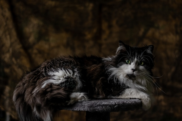 A black and white long-haired cat lying on a stone proud of itself