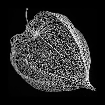 Black and white macro shot of physalis alkekengi