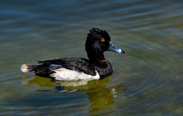 Black and white mallard swimming in a lake at daytime