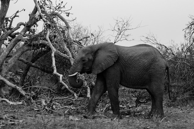 Black and white mid closeup shot of a beautiful elephant walking in a wild forest of south africa