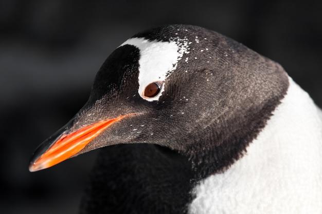 Black and white penguin