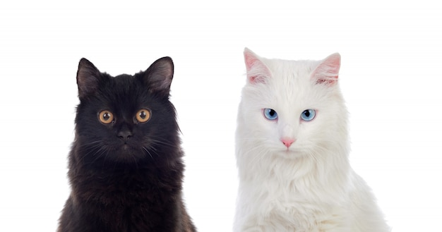 Black and white persian cats with brown and blue eyes