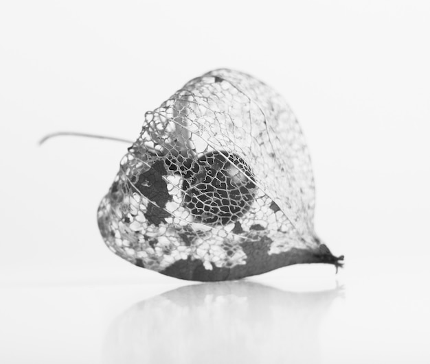 Black and white photo of dry lampion, dried skeleton of physalis on white background.