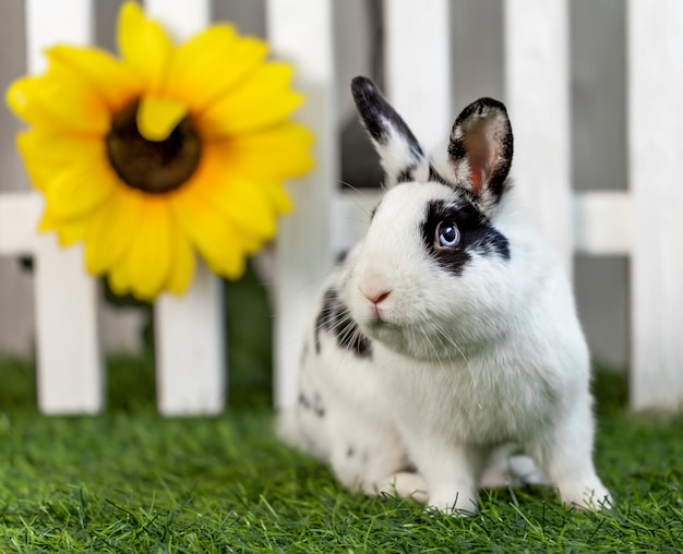 Black and white rabbit on grass near the fence