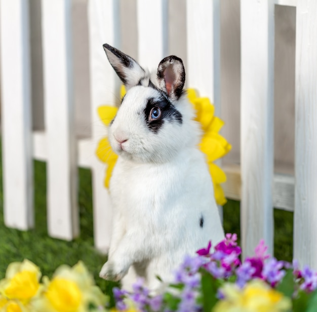Black and white rabbit standing on hind legs