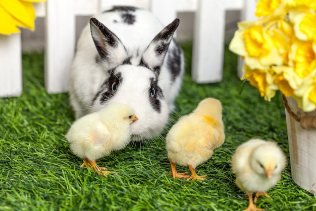 Black and white rabbit with small chicken in the garden.