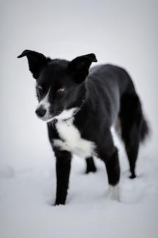 Black and white short-coated dog