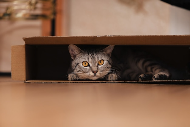 A black and white tabby cat climbed into a cardboard box on the floor and frolicked inside it.