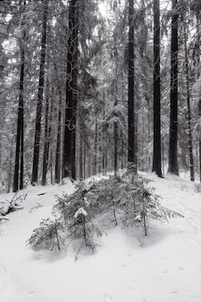 Black and white winter landscape with huges conifer trees