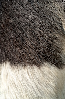 Black and white wool of a goat. pet fur texture.
