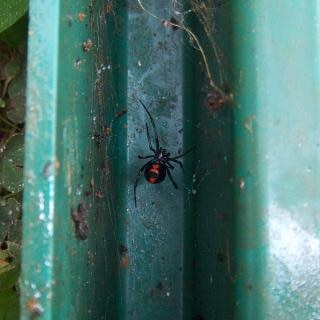 Black widow spider, poisonous