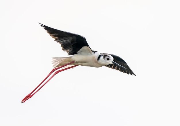 Чернокрылый ходулочник летит птица