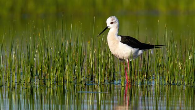 春の自然の中で水に立っている黒い翼の高床式
