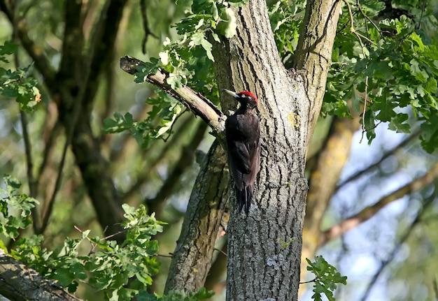 クマゲラ(dryocopus martius)は、厚い樫の木の樹皮から昆虫や幼虫を探します。写真の美しい夜の光