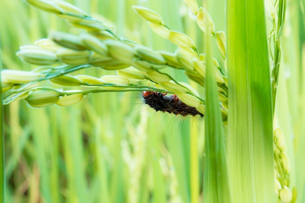 Black worm on ears of rice during the rainy season.