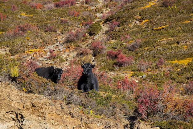 Black yaks graze high in the mountains