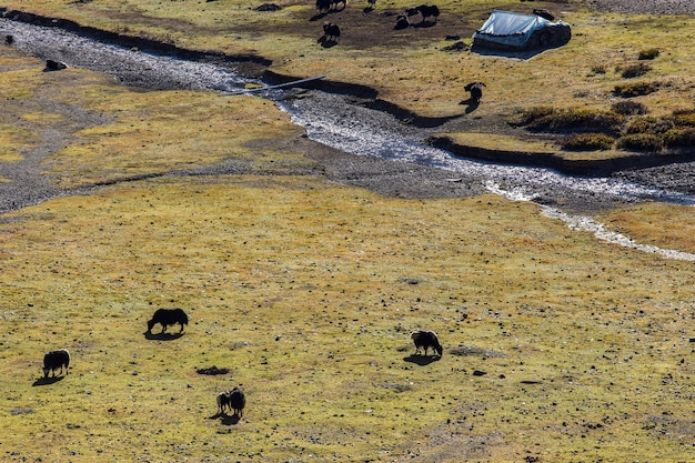 Черные яки пасутся в горах.