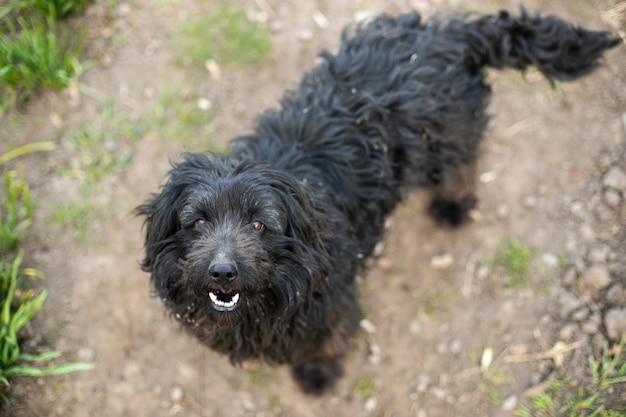 Black yard dog looks up at master. dog is self-walking. hungry animal. dog from shelter.