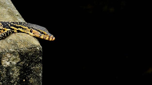 Black and yellow lizard is sunbathing