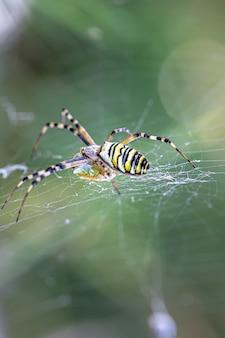 Black and yellow stripe argiope bruennichi wasp spider on web.