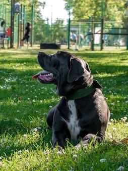 검은 젊은 지팡이 corso 개는 푸른 잔디, 동물의 야외 촬영에 앉아