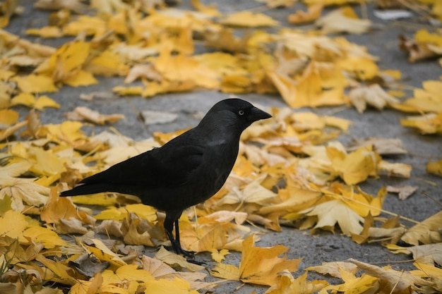 Black young jackdaw standing on the yellow autumn fallen leaves