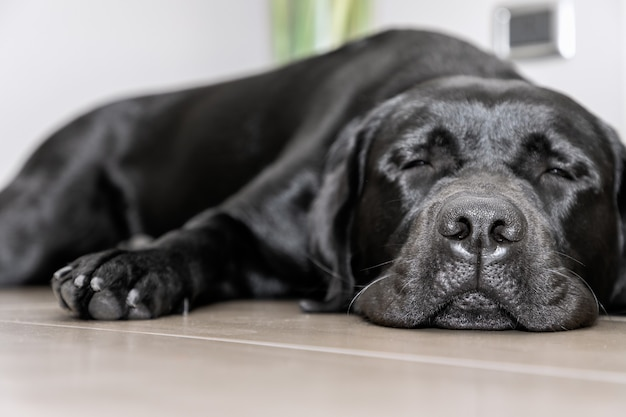 Black young labrador sleeping on the floor (focus on the dog's nose)