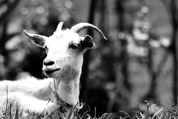 かわいいblackandwhiteヤギの自然を集中