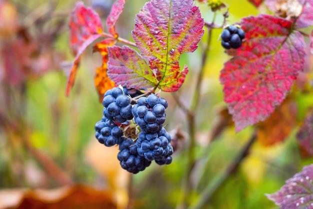 真っ赤な葉に囲まれた秋の森のブラックベリーベリー