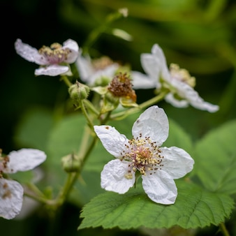 Цветение шиповника ежевики летом